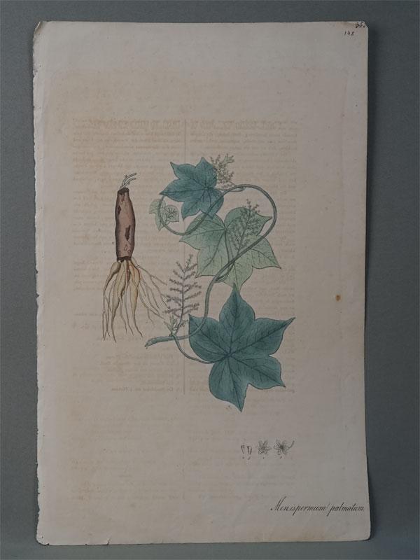 Луносемянник пальчатый. Menispermum palmatum (L.) Pursh. Nees von Esenbeck, T.F.L., Plantae officinales, vol. 1: (1828-1833). Литографии по рисункам A. Henry. — Дюссельдорф, 1828.