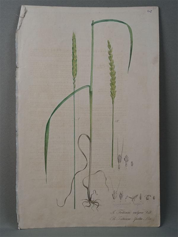 Пшеница обыкновенная и пшеница спельта (Полба настоящая).  Triticum vulgare et spelta. Nees von Esenbeck, T.F.L., Plantae officinales, vol. 1: (1828-1833). Литографии по рисункам A. Henry. — Дюссельдорф, 1828