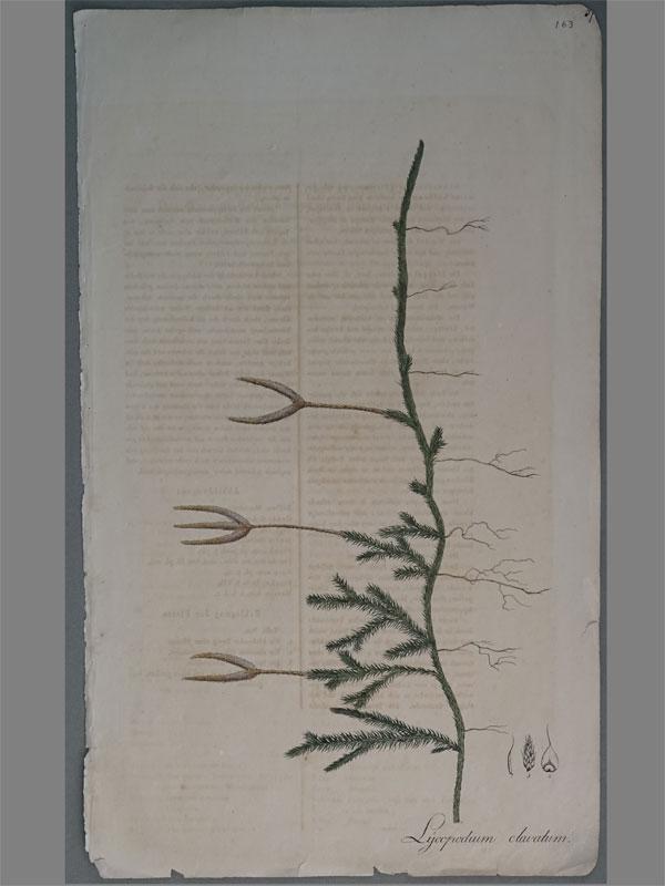 Плаун булавовидный (Lycopodium clavatum). Nees von Esenbeck, T.F.L., Plantae officinales, vol. 1: (1828-1833). Литографии по рисункам A. Henry. — Дюссельдорф, 1828.