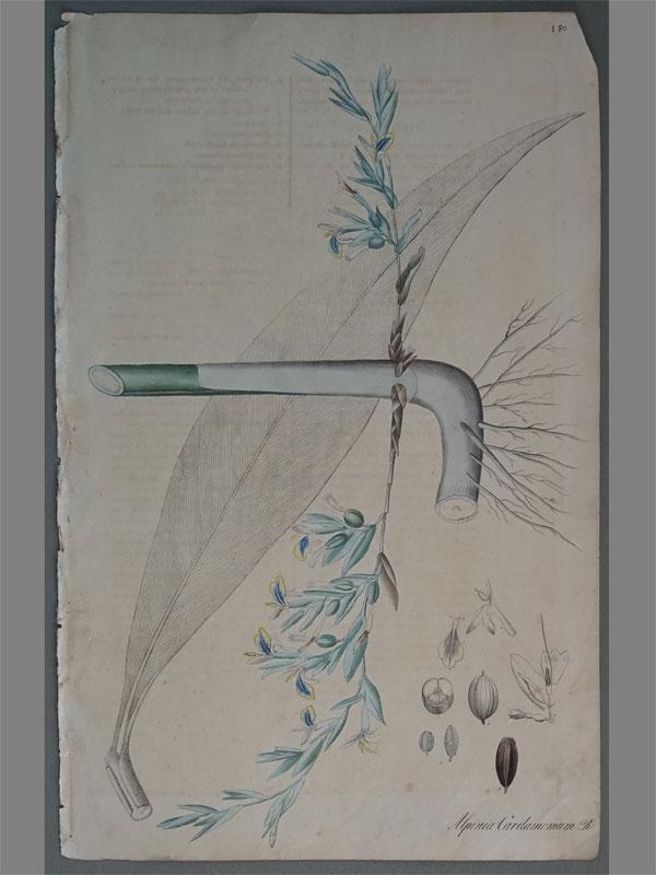 Кардамон или Элетария (Elettaria cardamomum, Alpinia Cardamomum / Nees von Esenbeck, T.F.L., Plantae officinales, vol. 1: (1828-1833). Литографии по рисункам A. Henry. — Дюссельдорф, 1828.