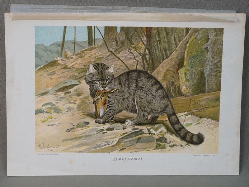Дикая кошка. Рисовал  W. Kuhnet. Хромолитография Т. Кибель, 1904. 25 × 20 см.