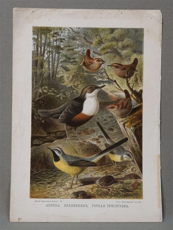 Оляпка. Крапивник. Горная трясогузка. Рисовал G. Mutzel. Хромолитография. СПб.: Т-во «Просвещение», 1900.