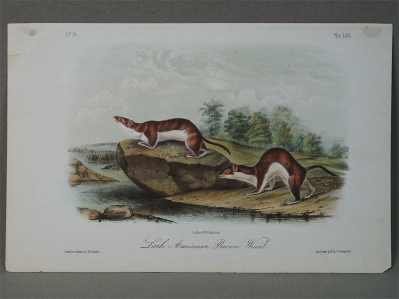 Маленькая Американская коричневая ласка /  Little american brown weasel. Draw from by J.W. Audubon. Lith. By J.T. Bowen, Phil. (Америка,  1850). Цветная литография. 20 × 25 см.