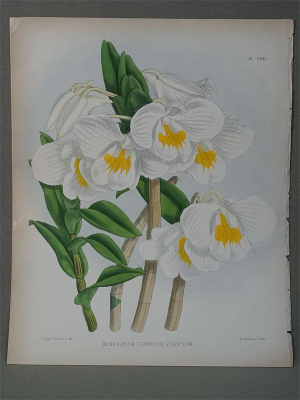 Орхидея. Dendrobum formosum giganteum.  Хромолитография. 30,5 × 24,5 см. Из Альбома орхидей. — Лондон: Издание Б.С.Вильямс, 1889. The colored figures by John Nugert Fitch.