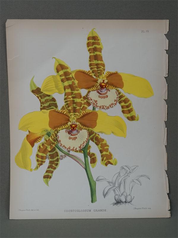 Орхидея. Odontoglossum grande.  Хромолитография. 30,5 × 24,5 см. Из Альбома орхидей. — Лондон: Издание Б.С.Вильямс, 1889. The colored figures by John Nugert Fitch.
